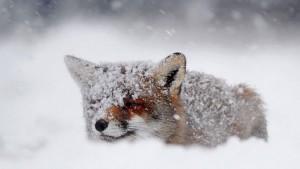 neige-renard